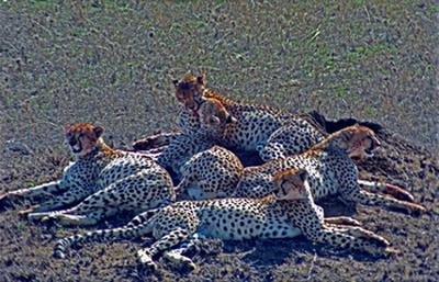Cheetas after the kill, Serengeti, Tanzania (1994) Photo (c) Karen Abrahamson