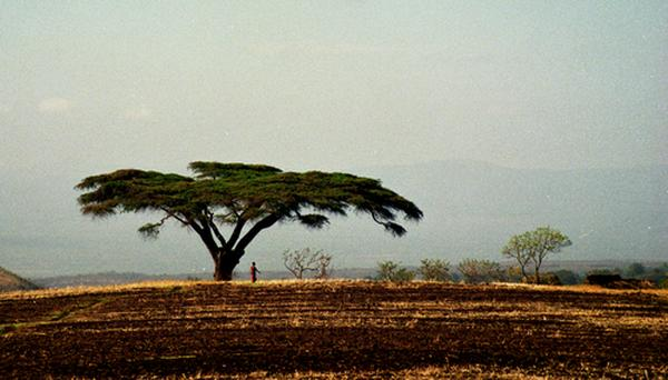 Acacia Tree, Ngorongoro Crater, Tanzania (1994) Photo (c) Karen Abrahamson