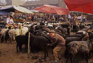 Morning sheep shearing, Kashgar Market