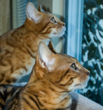 The bengal boys watch their first snow.