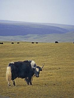 Yak at Qinghai Lake (1998) Photo (c) Karen Abrahamson